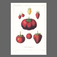PK ST Erdbeere 183-3