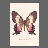 PK ST Falter braun:rosa 286-3