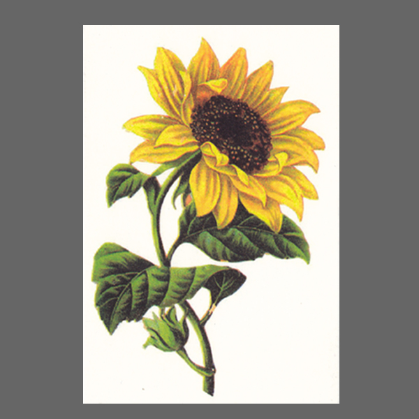 PK ST Sonnenblume 135-3