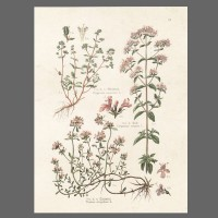 Print Oregano,Majoran, Thymian 112