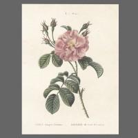 Print ST Rose 122