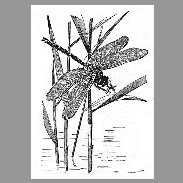 Print Vintage A4 Libelle | Berliner Töchter | Webshop